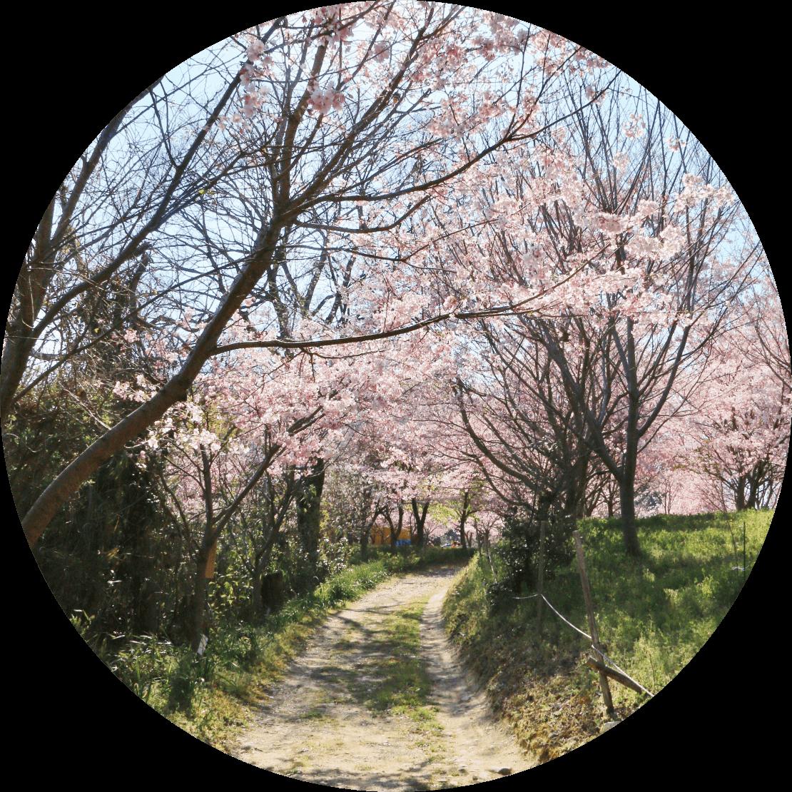 巻9-1748(反歌) わが行きは七日は過ぎじ龍田彦ゆめこの花を風にな散らし